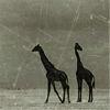 deeplyunhip: (giraffes)