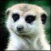 jarrettc: meerkat (Default)