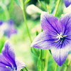 sparkythegeek: (Nature - Balloon Flowers)