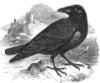 theravenswork: (Raven1)