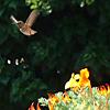 platypus: (hummingbird - distant)