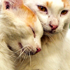 bellflower: A cat rubs its head against another cat fondly ([Cats] Affection)