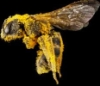 regina_apis: (bee)