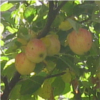 kelkyag: A cluster of red-blushed yellow apples on a tree (apples)