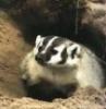 happybat: (badger)