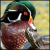 lbilover: (wood duck)