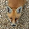 actually_not: (fox)