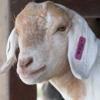 flwyd: (pensive goat)