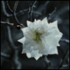 eyeus: (White Tree - Bloom)