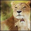 m_cobweb: (lions)