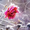 m_cobweb: (rose ice)