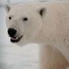 ednoria: (polarbear)