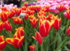 brenantrim: tulips from Keukenhof Gardens, Netherands, 2015 (tulips, keukenhof)
