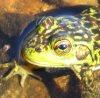jennlk: (mink frog)
