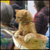 kyleri: an orange tabbycat, in a basket worn on the back of a person who isn't really in the picture. (basket)
