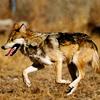 finalizes: (wolf: run)