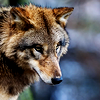 finalizes: (wolf: serious)