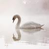 dubsuilech: (swan) (Default)