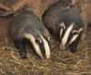 perlmonger: (badger badger)