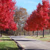 sgamadison: (Red Trees)