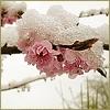 melanyja: (зимняя роза)