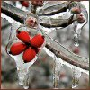 sage: close up of a dogwood berry covered in ice (season: winter)