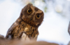 disgruntled_owl: annoyed owl (Default)