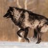 nomissingpersons: (Wolf Run)