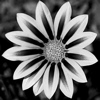 grey_gazania: black-and-white photo of a gazania (Default)
