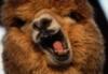 dakini_bones: (llama!)