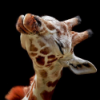 ginger_jane: (giraffe in love)