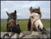 colebaltblue: (Irish Horses)