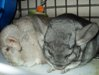 bunrab: (chinchillas)