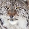 wandererdragon: (lynx)
