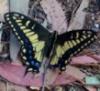 labelleizzy: (butterfly)