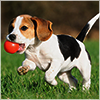 dorinda: A black and white puppy running on grass with a red ball in its mouth. (puppy_ball)