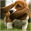 dorinda: A basset hound puppy with its long ears flapping sideways. (puppy_ears)