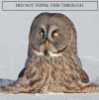 ravenclaw_blogs: Great Grey Owl half-buried in snow, caption: Did not think this through (did not think this through, owl)