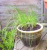 juliet: Pot of chives on the decking (at Webster Road flat) (chives)