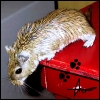 scap3goat: (gerbil: kat - to jump or not to jump?)