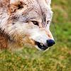 movingon: (wolf)