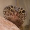 hesperornis: (gecko)