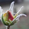 celestina: (rose bud)