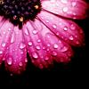 themoonandstars: (daisy (dark pink))