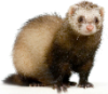 smallhobbit: (ferret)