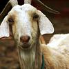 ladyvoldything: (goat)