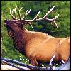 frost_hart: (Elk)