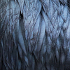 corbae: A close-up of raven feathers; blue and grey and purple and black. (brendon)