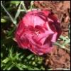 centauress: Carnation (Carnation)
