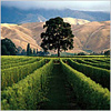 pine: picture of big pine tree in California vineyard (Pine_vineyard_Cal)